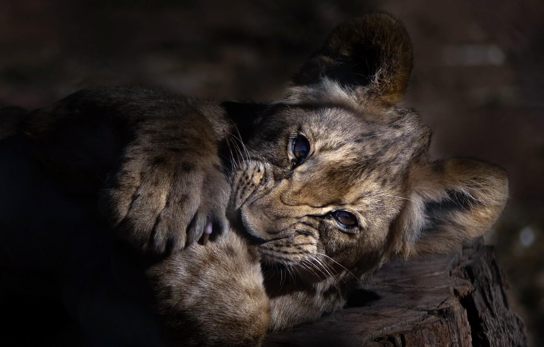 Photo wallpaper nature, Leo, beast