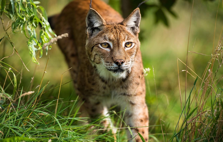 Photo wallpaper cat, leaves, pose, walk, lynx