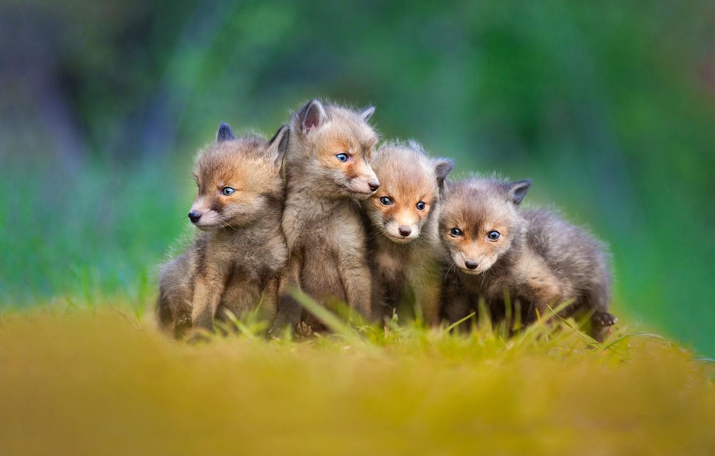 Photo wallpaper background, Fox, Fox, cubs, little cubs