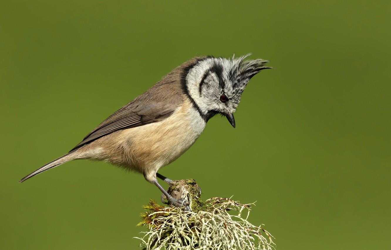 Photo wallpaper background, bird, branch, tit, crested tit, grenaderka, Parus cristatus, Tit shag