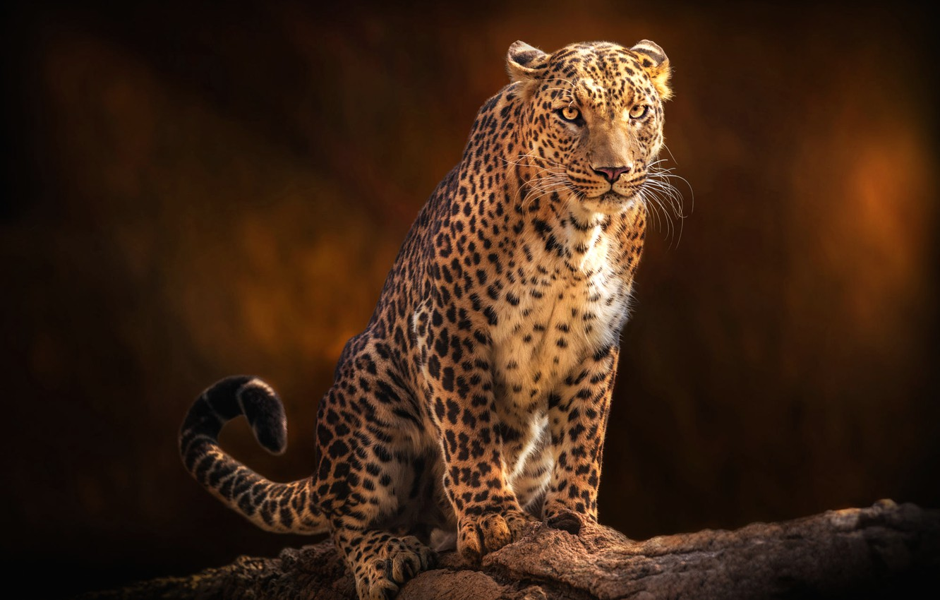 Photo wallpaper look, face, pose, the dark background, leopard, sitting