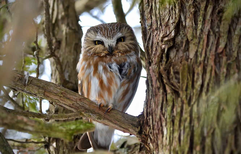 Photo wallpaper nature, tree, owl, bird, branch, bokeh, Northern Saw-whet Owl