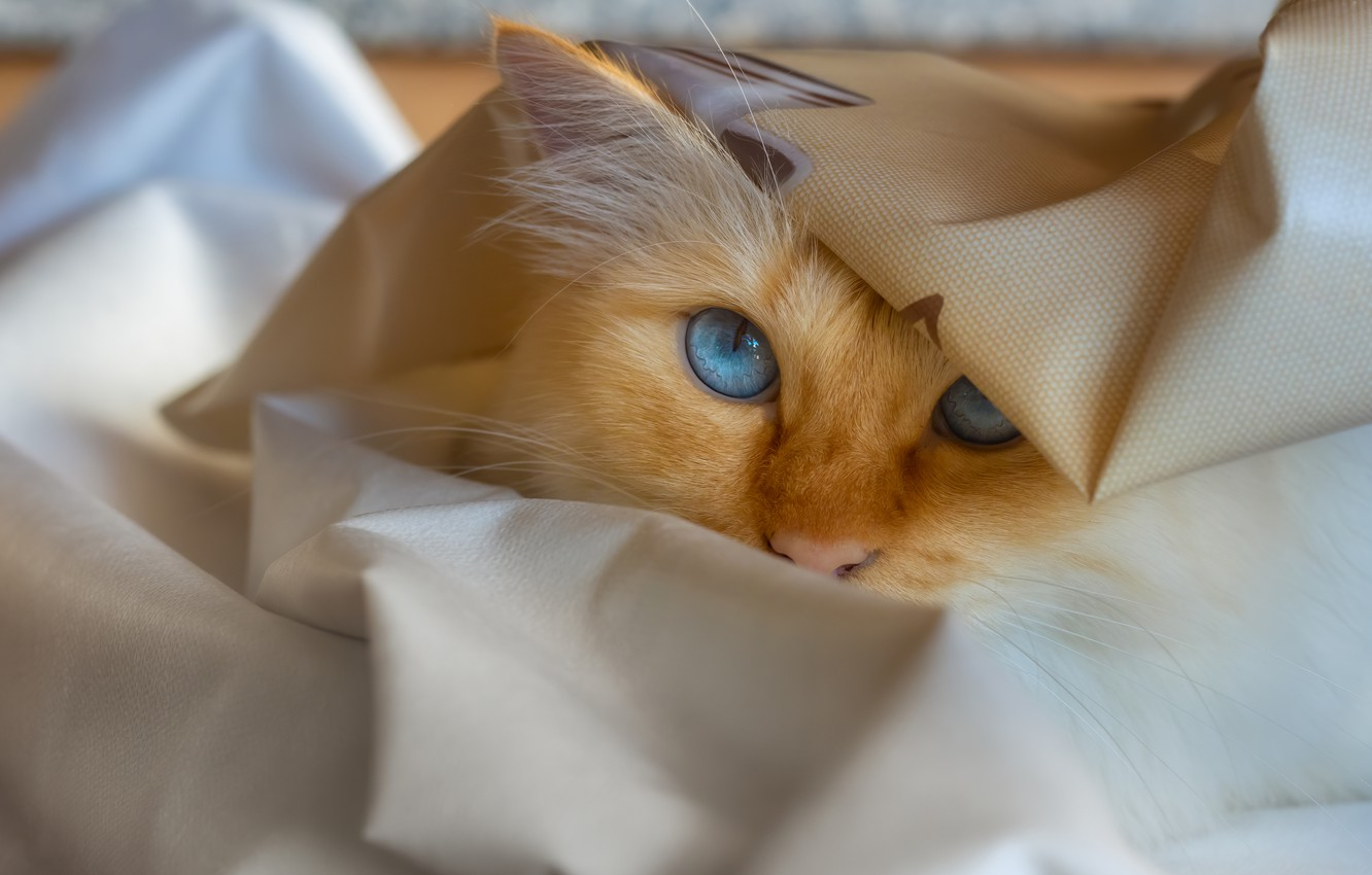 Photo wallpaper cat, cat, look, face, pose, portrait, red, blue eyes, folds, oilcloth