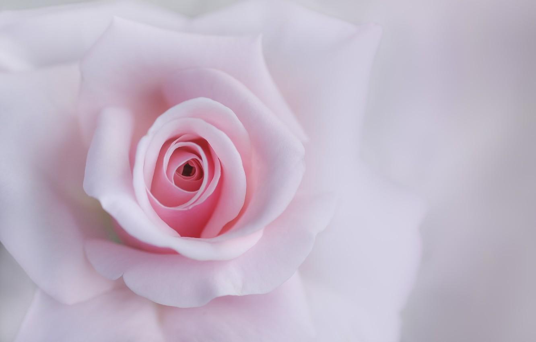 Photo wallpaper macro, tenderness, rose, petals