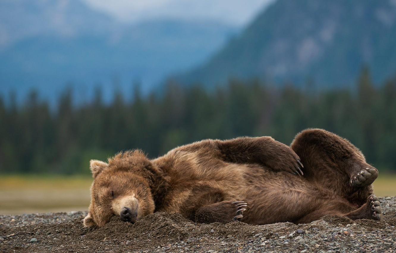 Photo wallpaper nature, pose, animal, sleep, predator, bear, Alaska