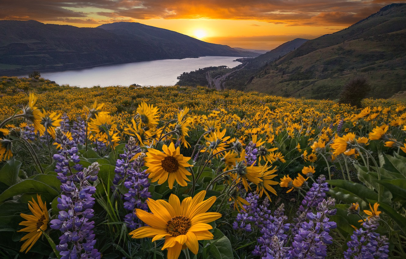 Photo wallpaper sunset, flowers, mountains, river, meadow, Oregon, Oregon, Columbia River, lupins, Columbia River Gorge, The Columbia …