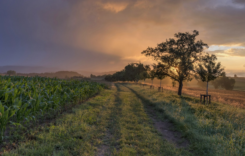 Photo wallpaper sunset, nature, corn