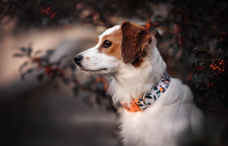 Photo wallpaper face, dog, profile, collar, Kooikerhondje