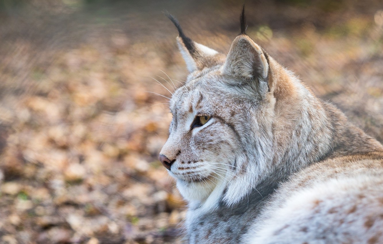 Photo wallpaper look, face, portrait, profile, lynx, wild cat