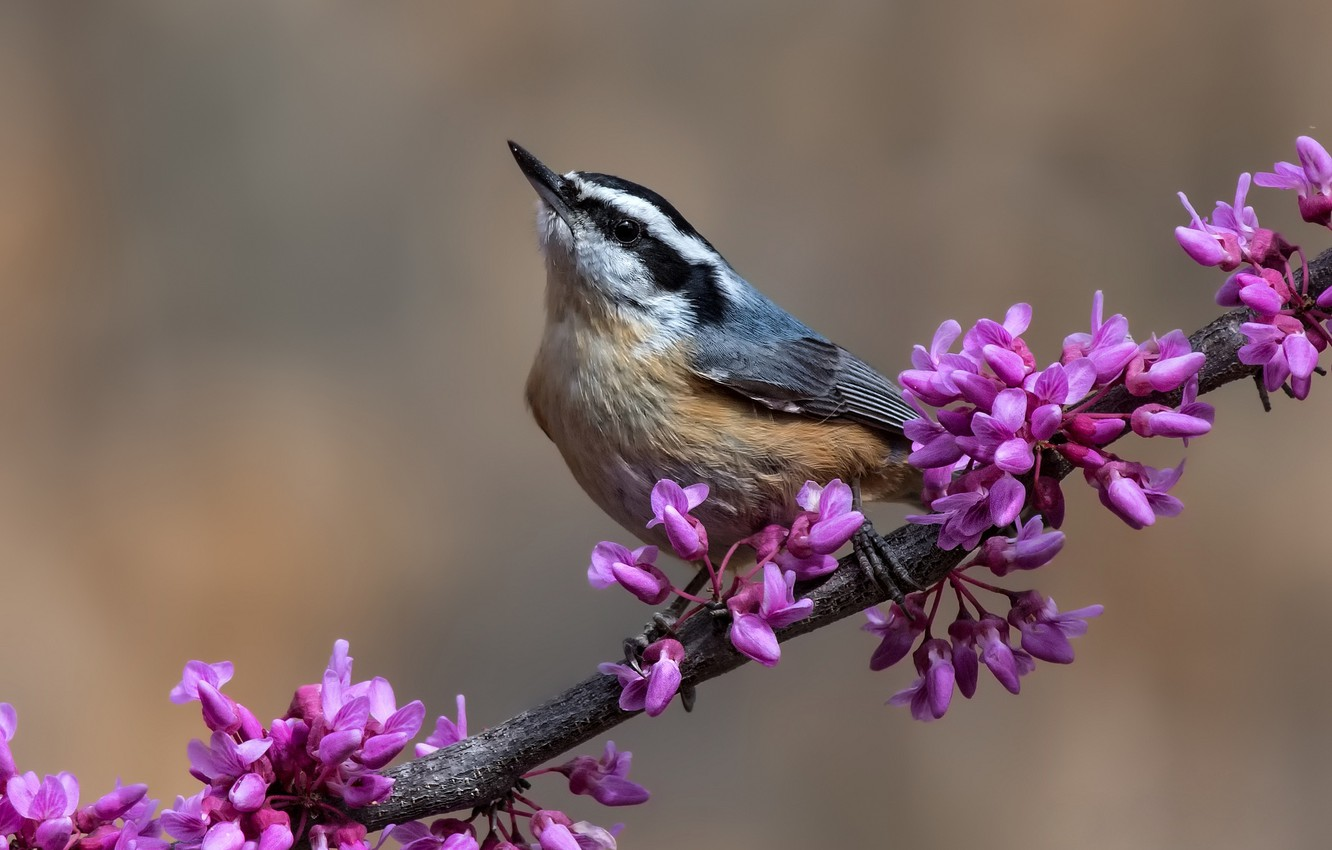 Photo wallpaper bird, branch, flowers, nuthatch