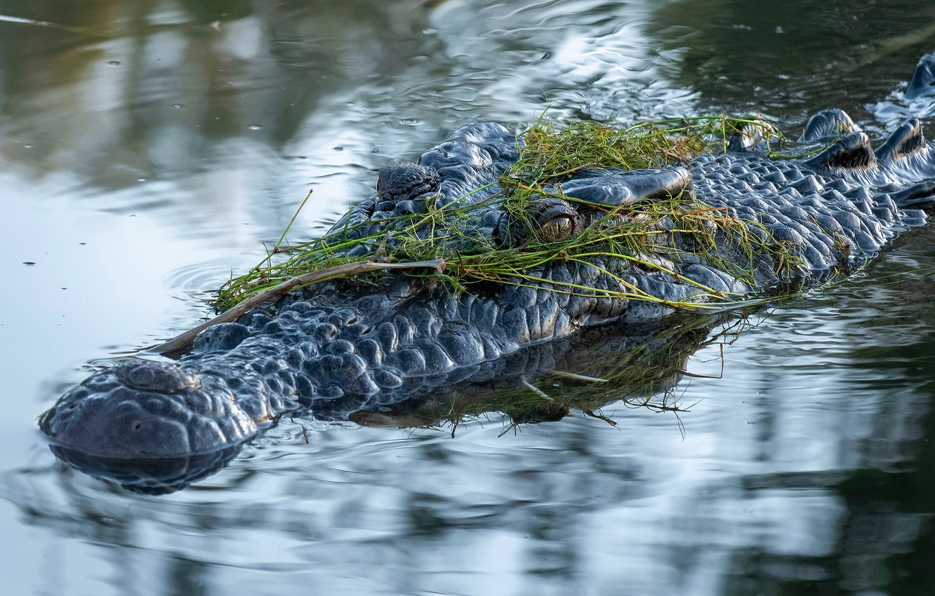 Photo wallpaper look, face, water, algae, reflection, crocodile, bathing, pond, swimming, blurred background, reptile