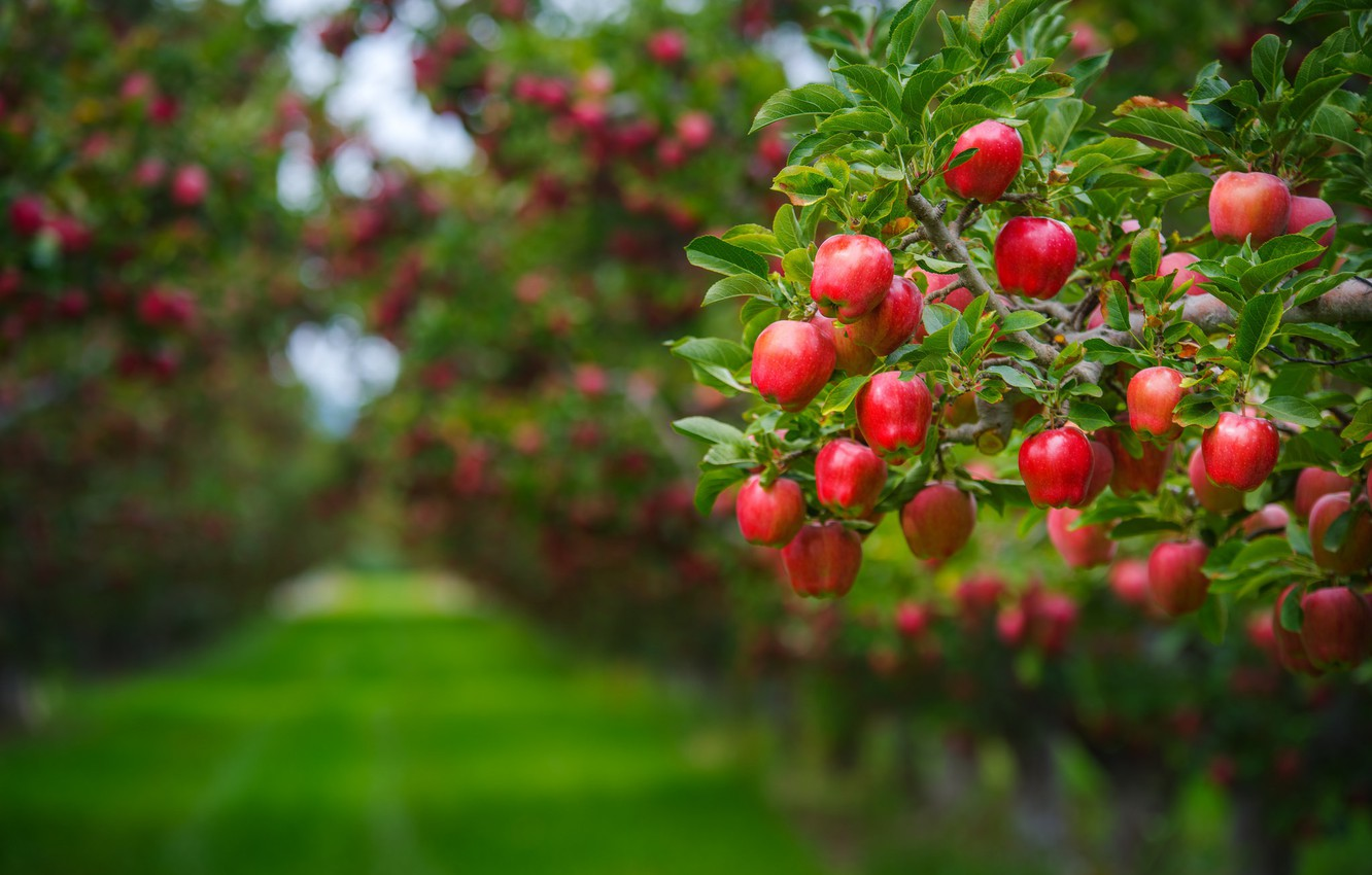 Photo wallpaper summer, leaves, branches, background, tree, lawn, apples, food, beauty, garden, harvest, track, red, fruit, green ...