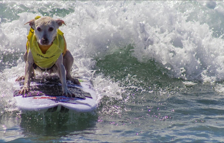 Photo wallpaper dog, Animals, surfing