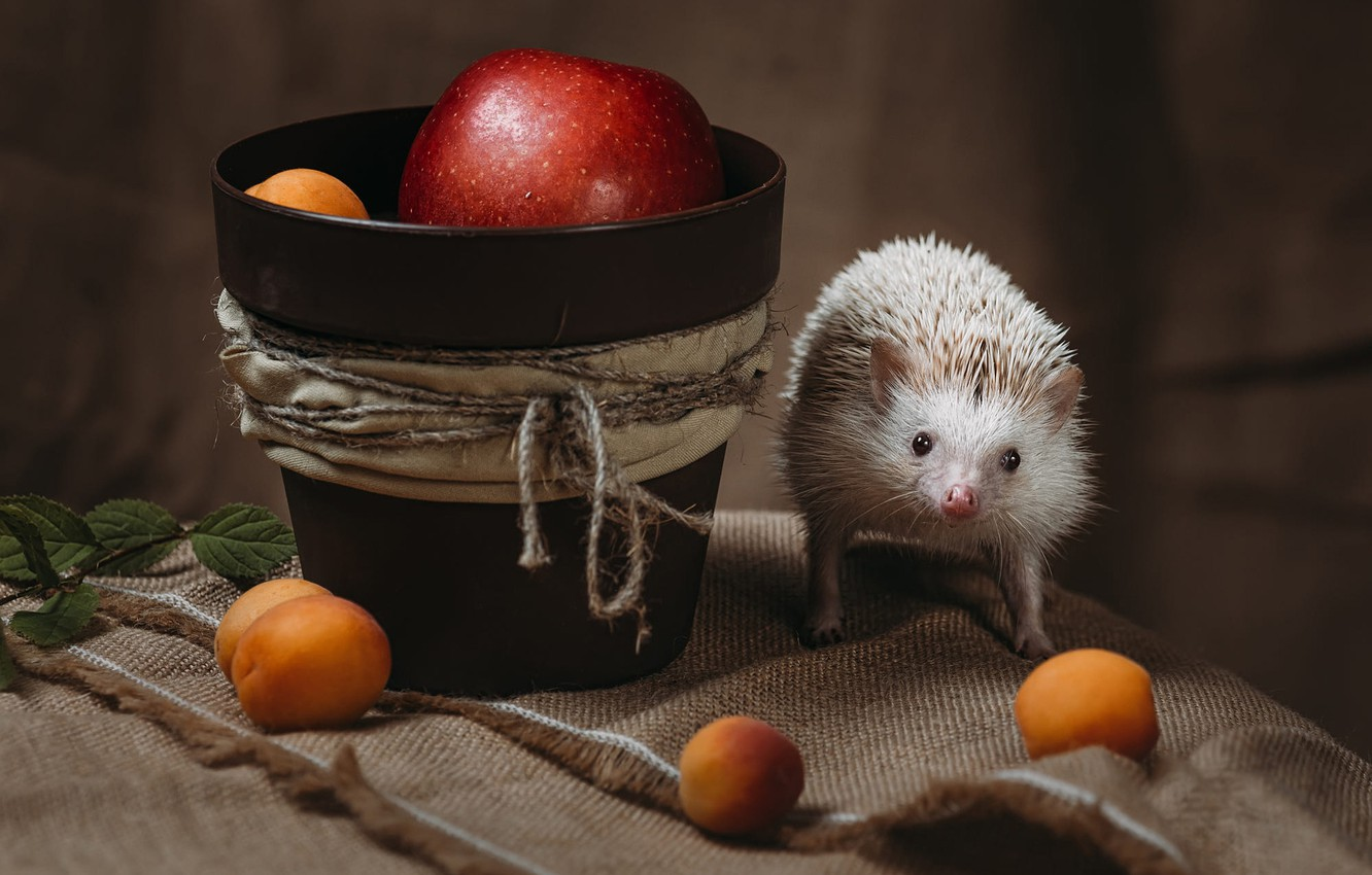 Photo wallpaper white, look, needles, pose, background, apples, rope, fabric, pot, animal, hedgehog, fruit, still life, face, ...