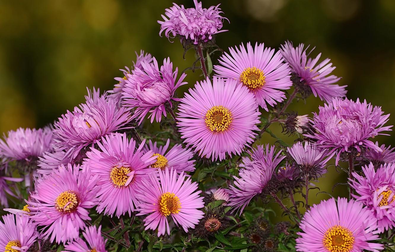 Photo wallpaper autumn, flowers, nature, hrizantemy