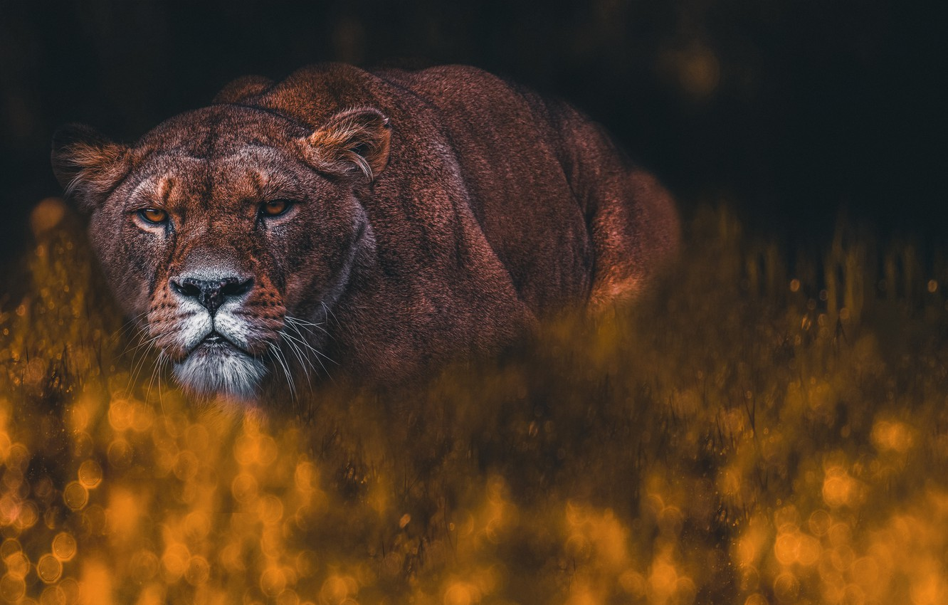 Photo wallpaper look, face, pose, the dark background, lioness, bokeh, photoart