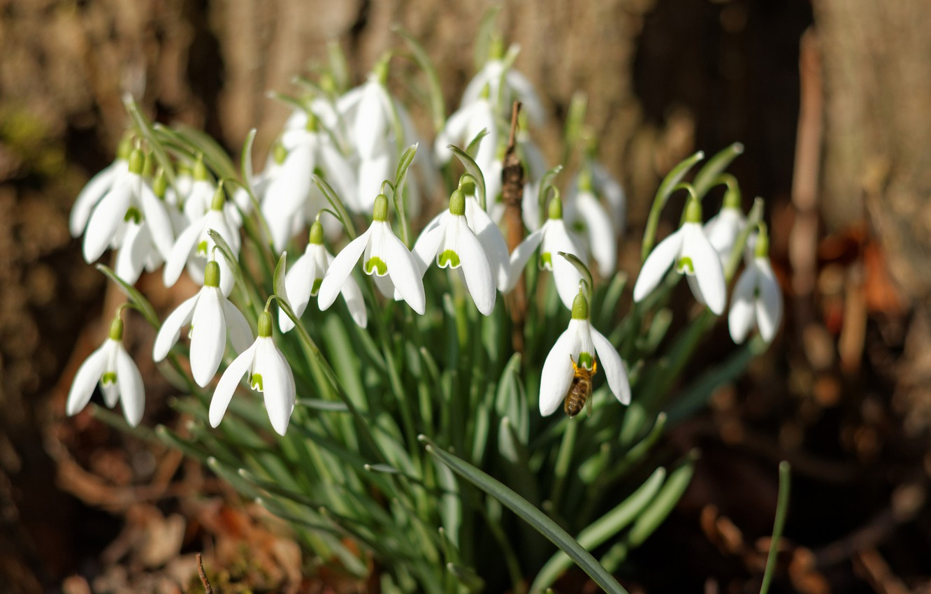 Snowdrop HD Wallpapers Background Images Wallpaper