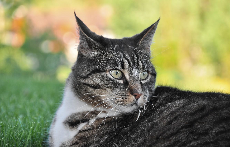 Photo wallpaper cat, grass, cat, look, face, pose, grey, background, portrait, lies, striped, bokeh