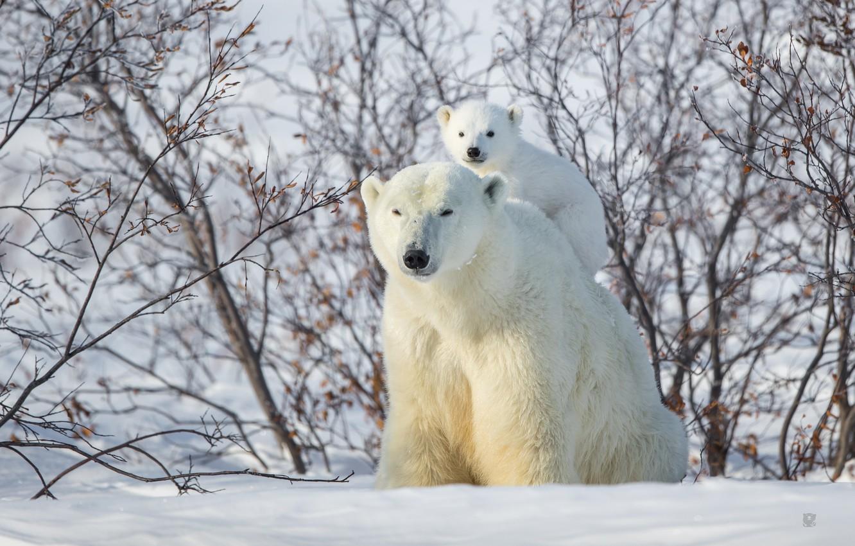 Photo wallpaper winter, snow, bear, the bushes, bear, top, Polar bears, Polar bears