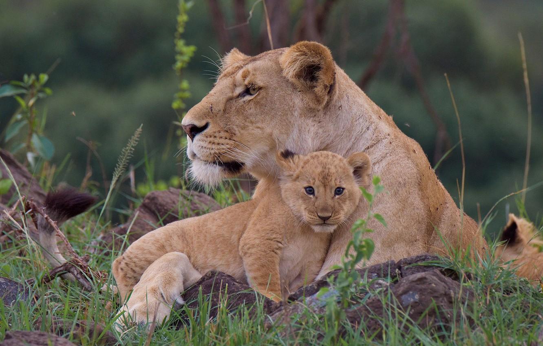 Photo wallpaper grass, cub, wild cats, lions, lioness, lion
