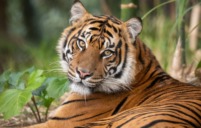 Photo wallpaper look, face, tiger, predator, wild cat