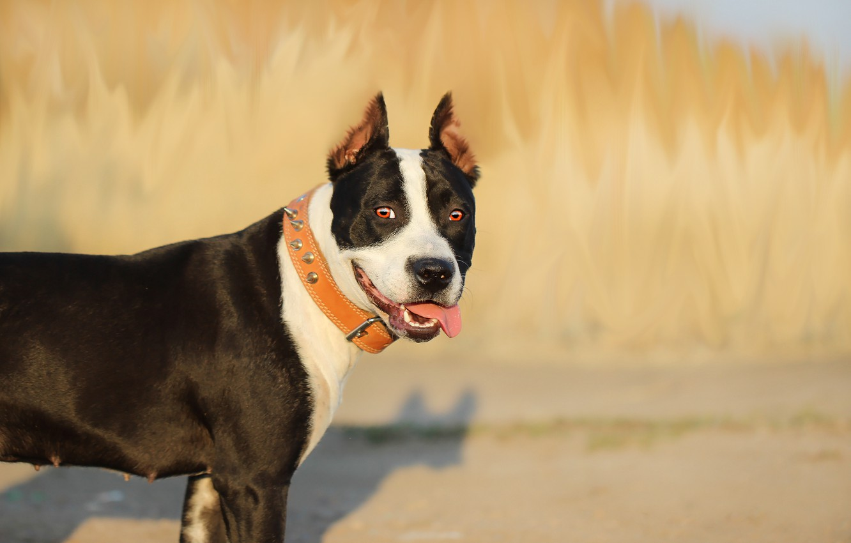 Photo wallpaper language, background, each, dog, pit bull