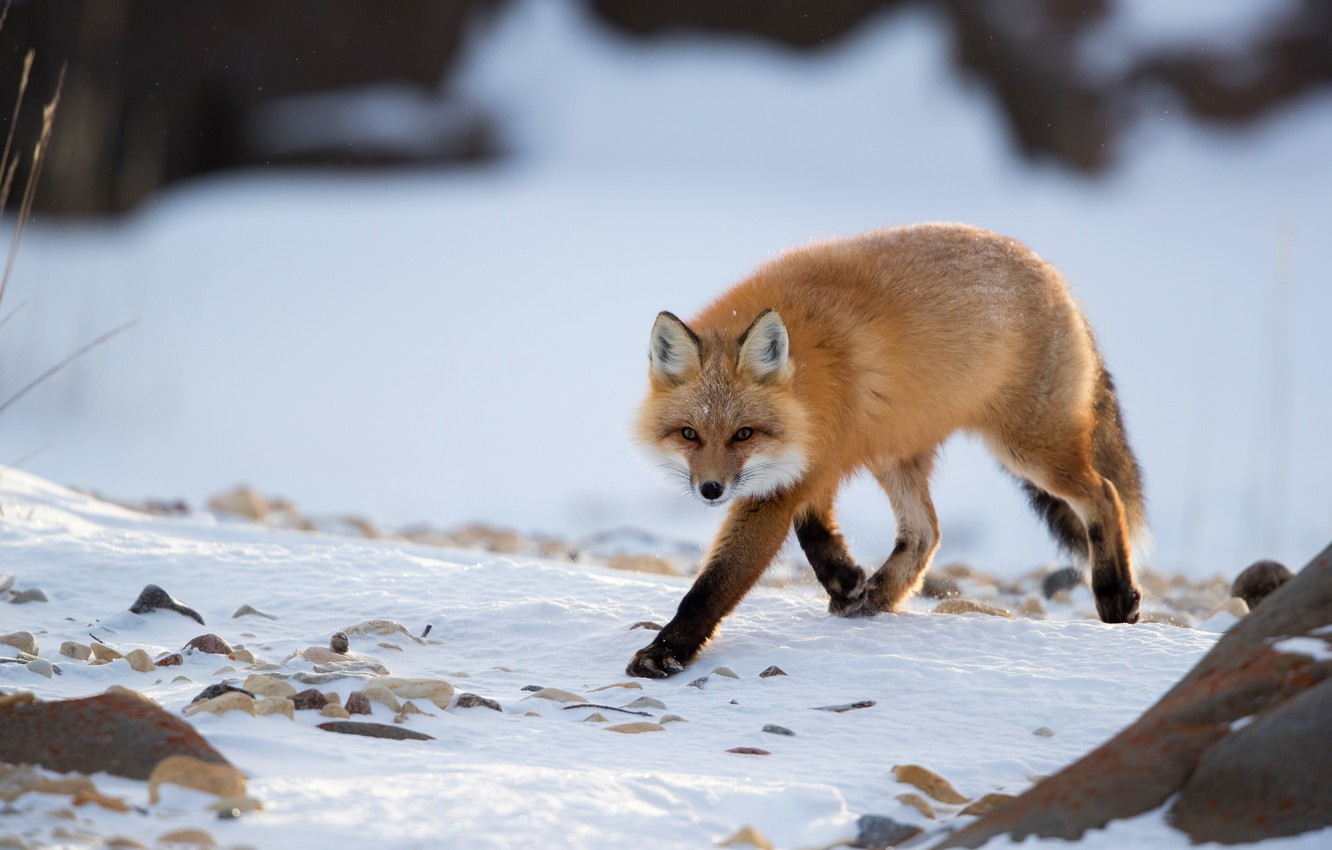 Photo wallpaper winter, look, snow, Fox, red, walk, Fox