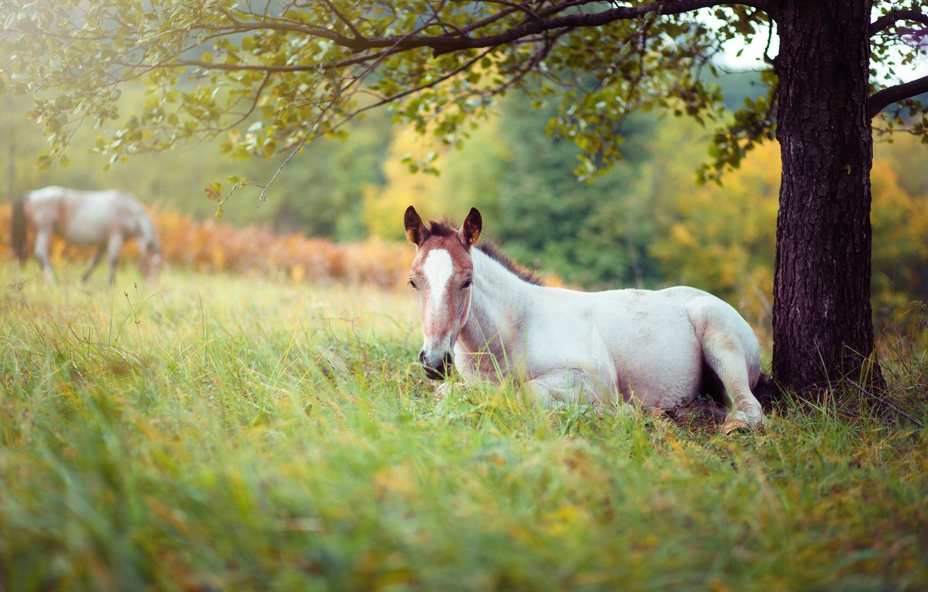 Photo wallpaper white, grass, branches, nature, tree, horse, stay, glade, foliage, horse, pasture, meadow, lies, lawn, young, …