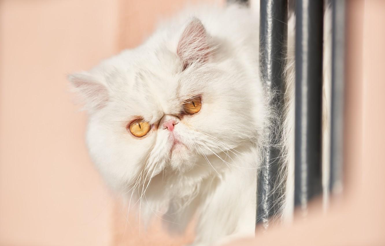 Photo wallpaper look, muzzle, white, fluffy, Persian cat