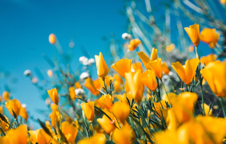 Photo wallpaper summer, flowers, yellow tulips