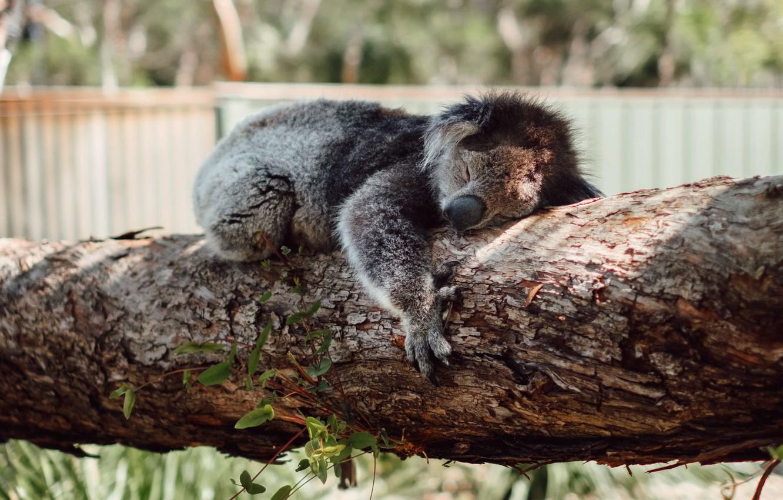 Photo wallpaper tree, sleep, sleeping, Koala