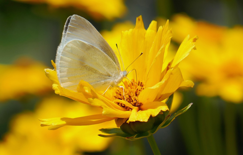 Photo wallpaper flower, butterfly, belyanka