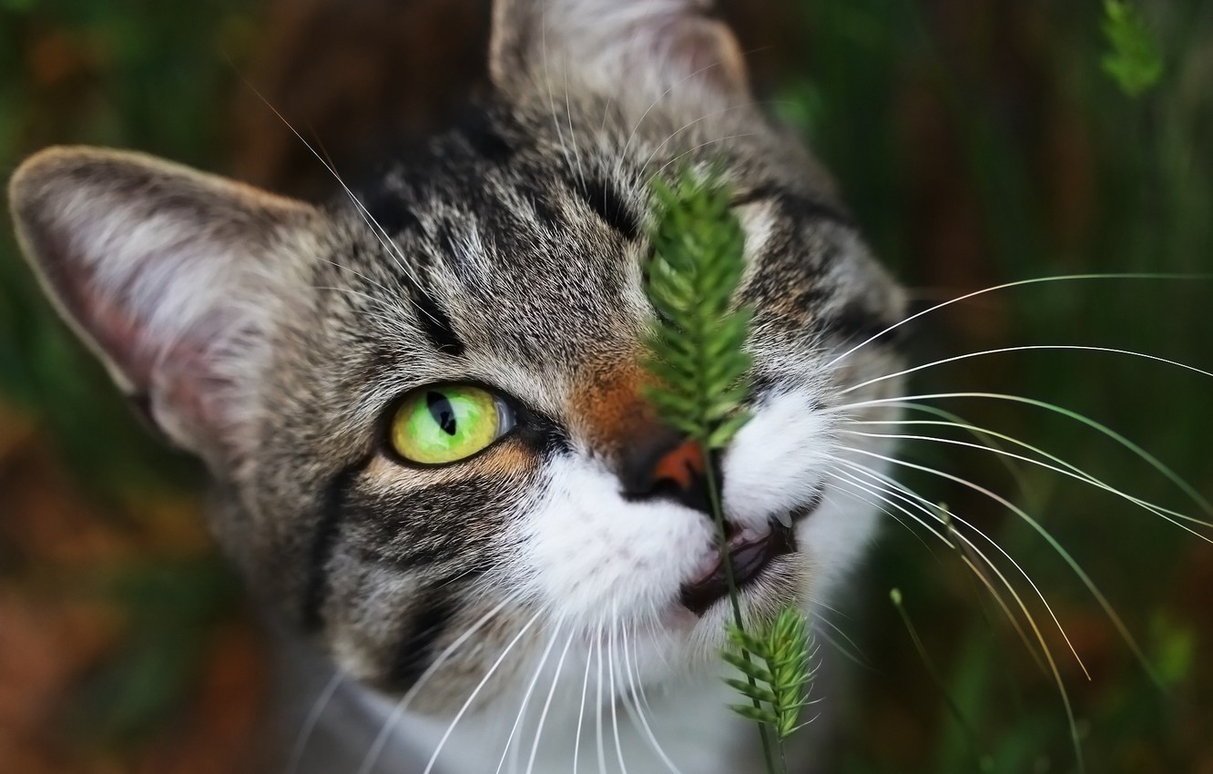 Photo wallpaper eyes, background, face, cat