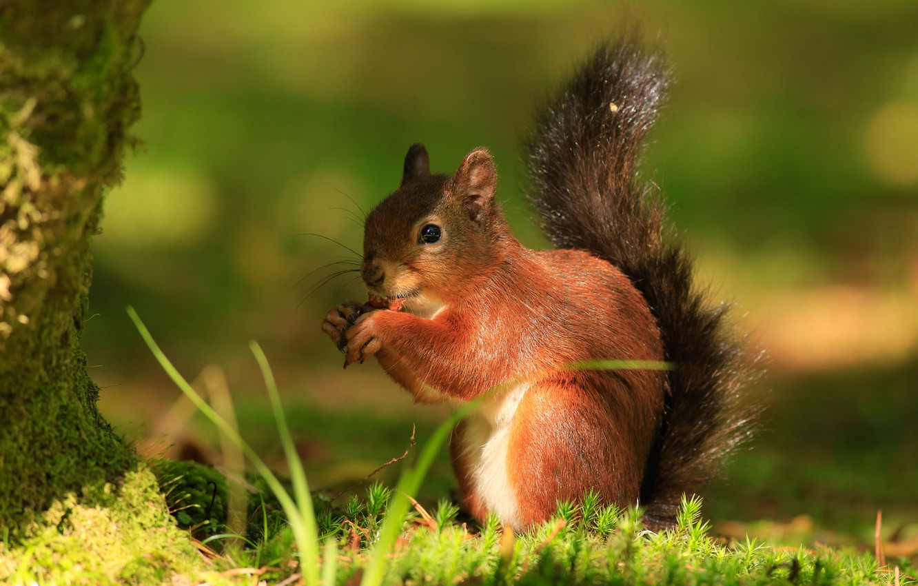 Photo wallpaper forest, summer, grass, background, tree, sweetheart, protein, animal, red, green background, wildlife, lunch, rodent, meal