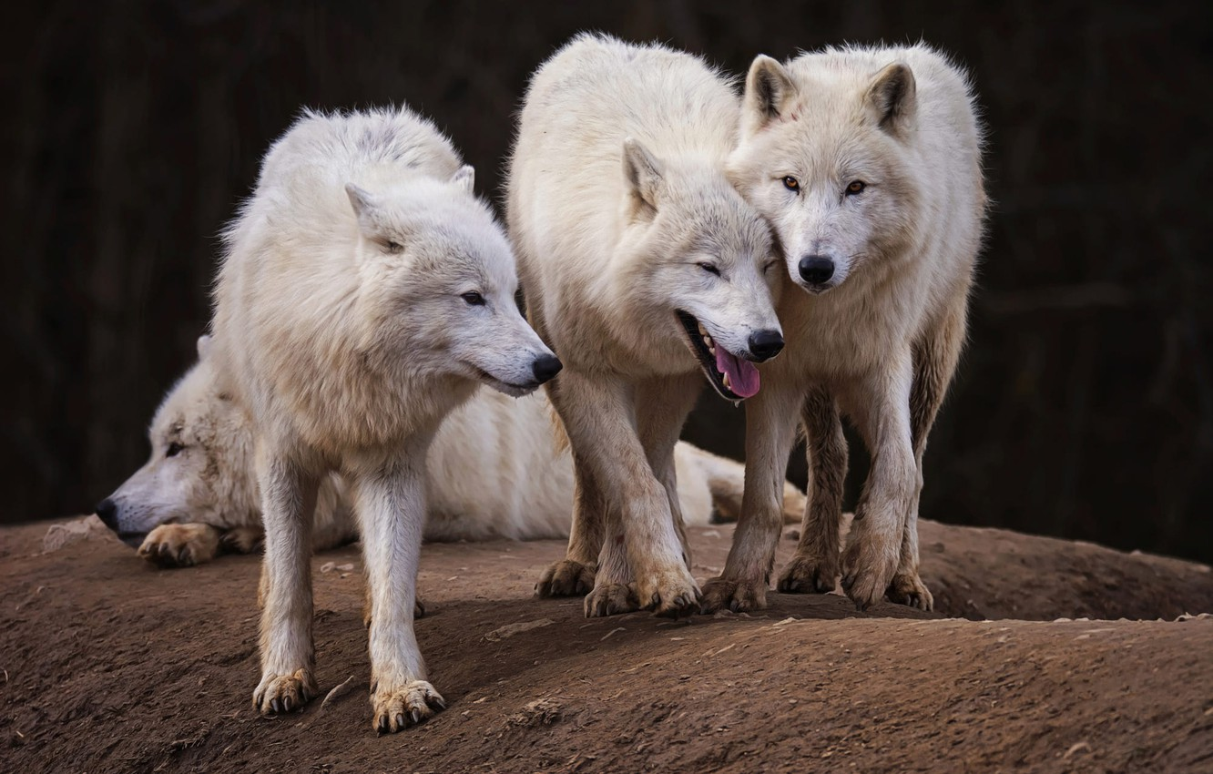 Wallpaper Language White Look Face Nature Pose The Dark Background Wolf Pack Paws Friendship Three Lies Wolves White Company Images For Desktop Section Zhivotnye Download