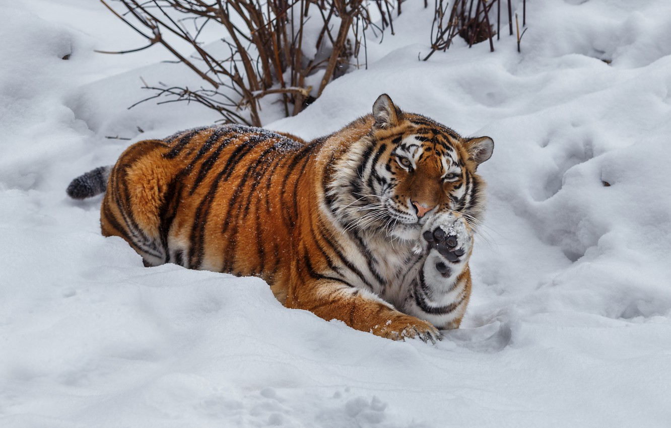Photo wallpaper winter, snow, tiger, pose, animal, predator, beast, the bushes, Oleg Bogdanov
