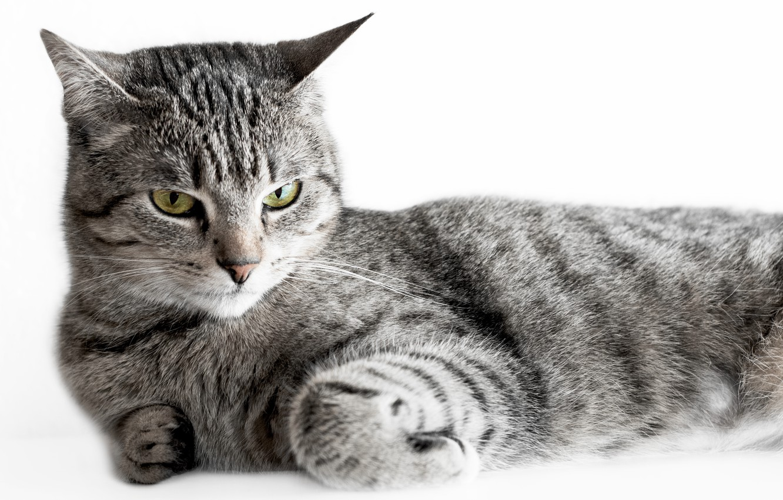 Photo wallpaper cat, grey, striped