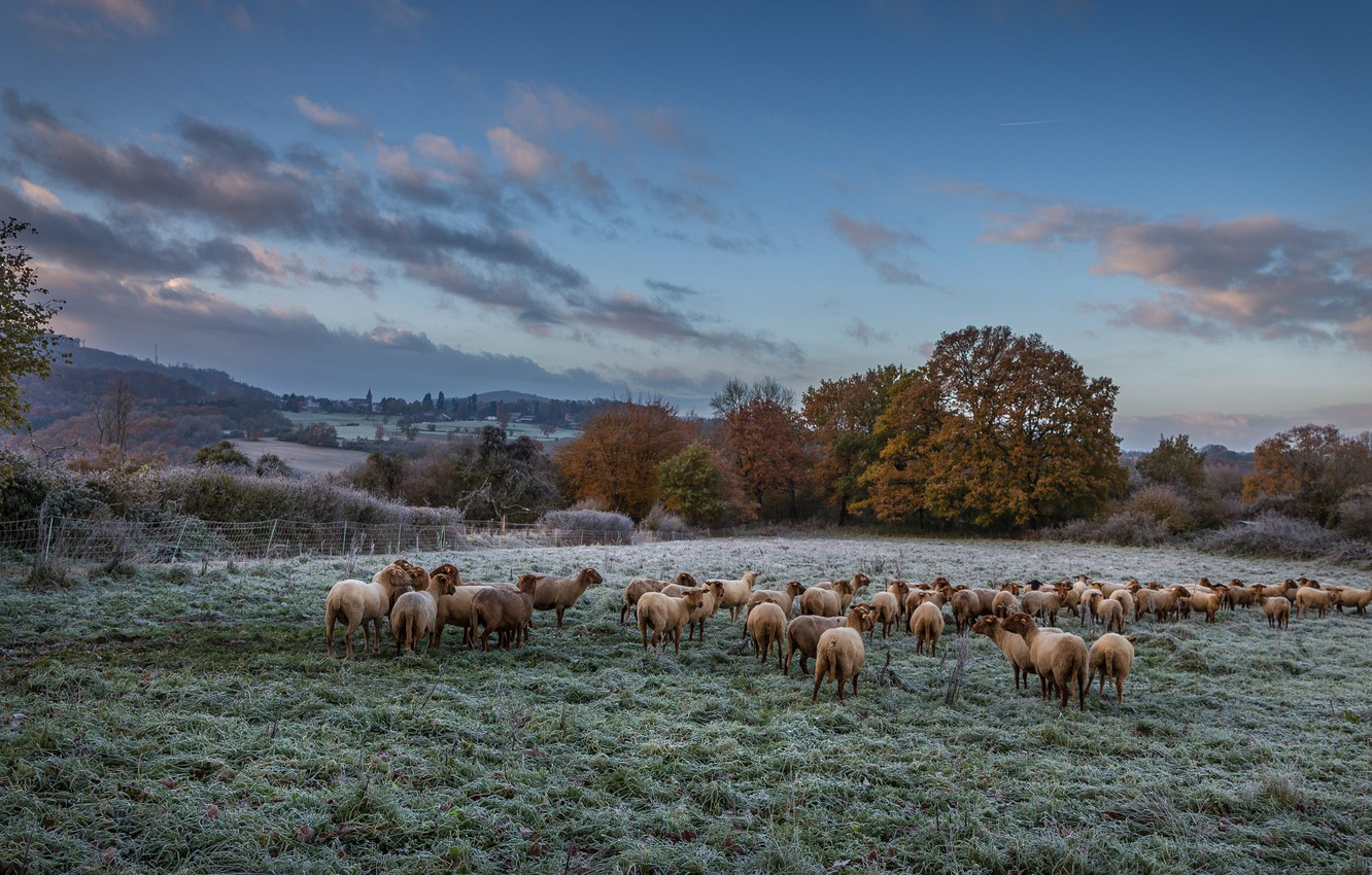 Photo wallpaper frost, field, autumn, the sky, clouds, trees, landscape, nature, blue, sheep, pasture, meadow, sheep, the …