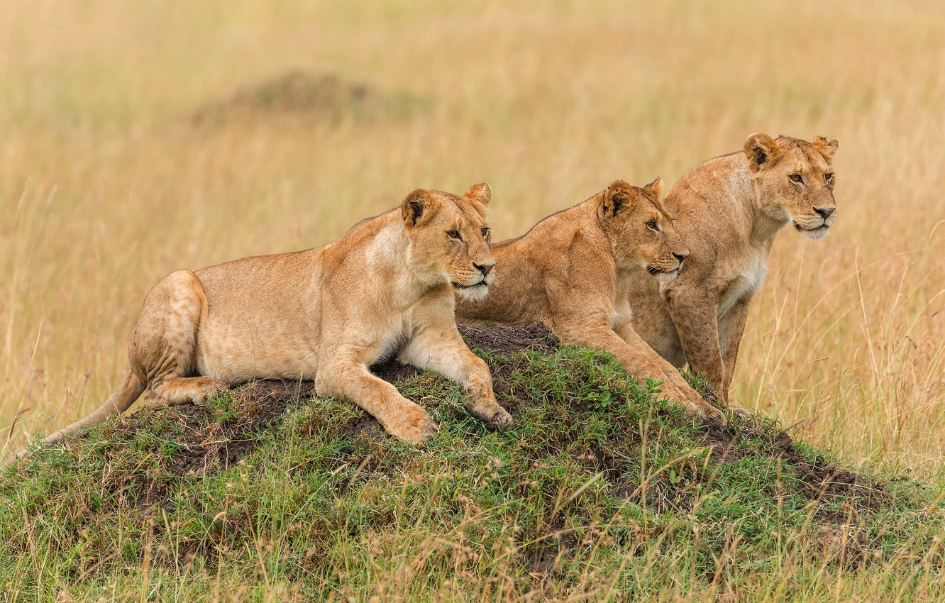 Photo wallpaper field, grass, look, nature, pose, hill, three, wild cats, lions, lioness, lie, lioness