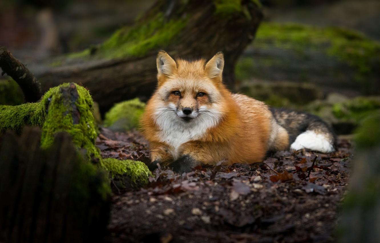 Photo wallpaper forest, face, nature, moss, Fox, lies, red, Fox