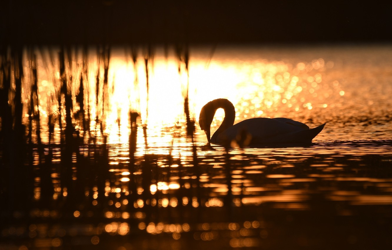 Photo wallpaper the sun, light, glare, ruffle, silhouette, grace, Swan, gold, pond