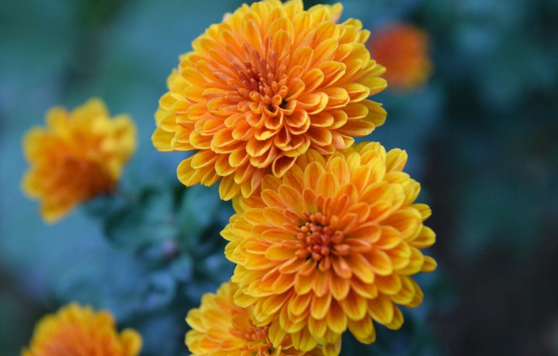 Photo wallpaper chrysanthemum, flower (flowers), orange flower, shirokoformatnye, осень 2020