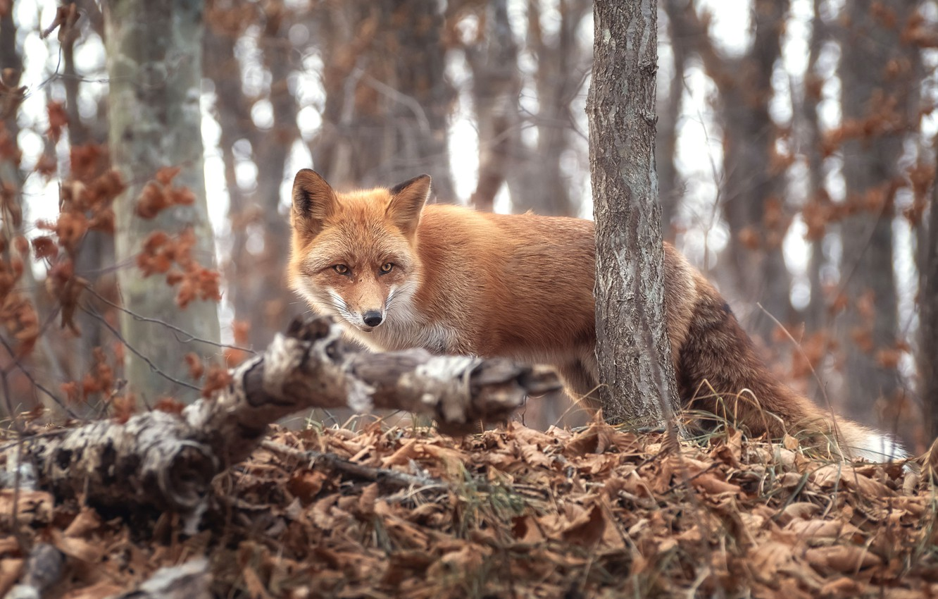 Photo wallpaper autumn, forest, grass, trees, branches, nature, animal, foliage, Fox, Fox