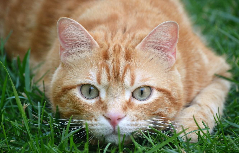 Photo wallpaper grass, cat, look, red, muzzle, cat