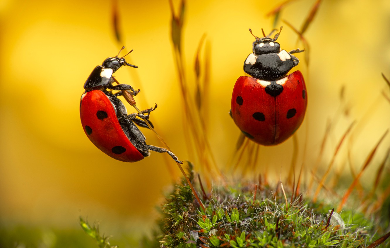 Photo wallpaper macro, insects, bugs, a couple, grass, Божьи коровки
