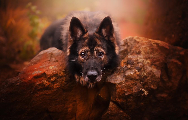 Photo wallpaper look, face, stones, dog, German shepherd