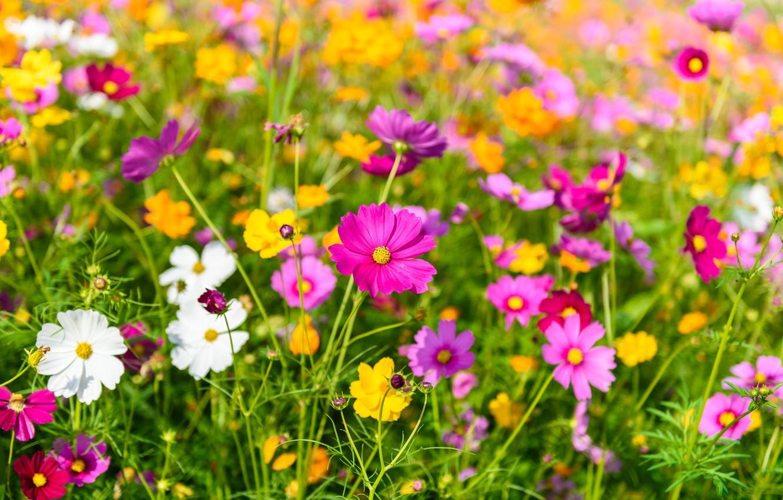 Photo wallpaper field, summer, the sky, flowers, colorful, summer, pink, field, pink, flowers, cosmos