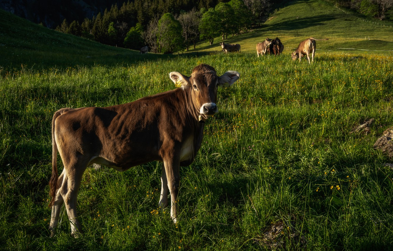 Wallpaper Summer Grass Nature Cow Cows Pasture Meadow Calf Images For Desktop Section Zhivotnye Download