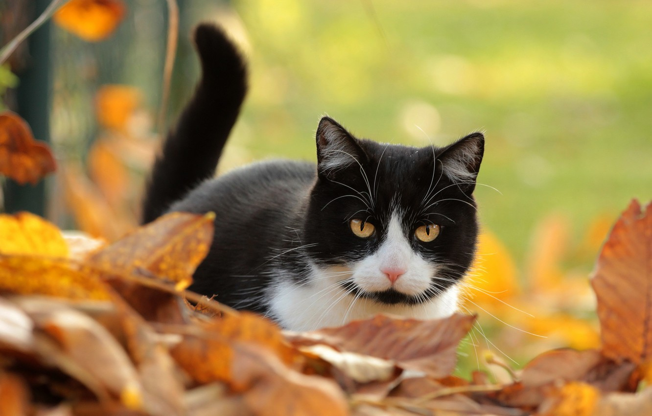 Photo wallpaper autumn, cat, cat, look, leaves, background, black and white, foliage, tail, yellow eyes