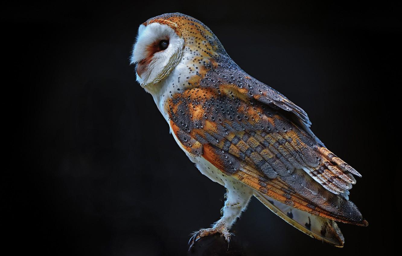 Photo wallpaper night, black, predator, Owl, the barn owl